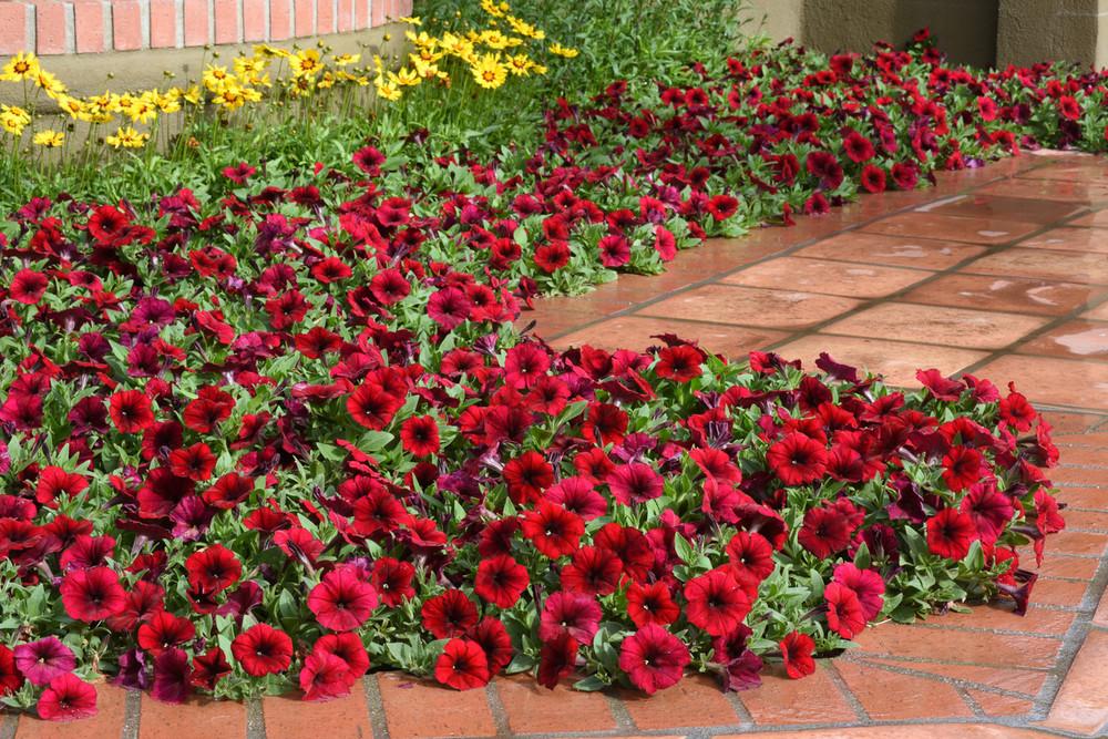 Petunia Easy Waveœ Red Velour Johnson Nursery Corporation