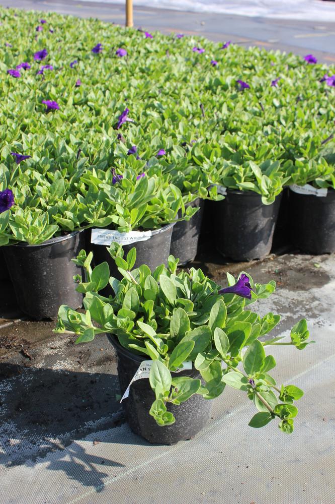 Petunia Easy Wave® Blue