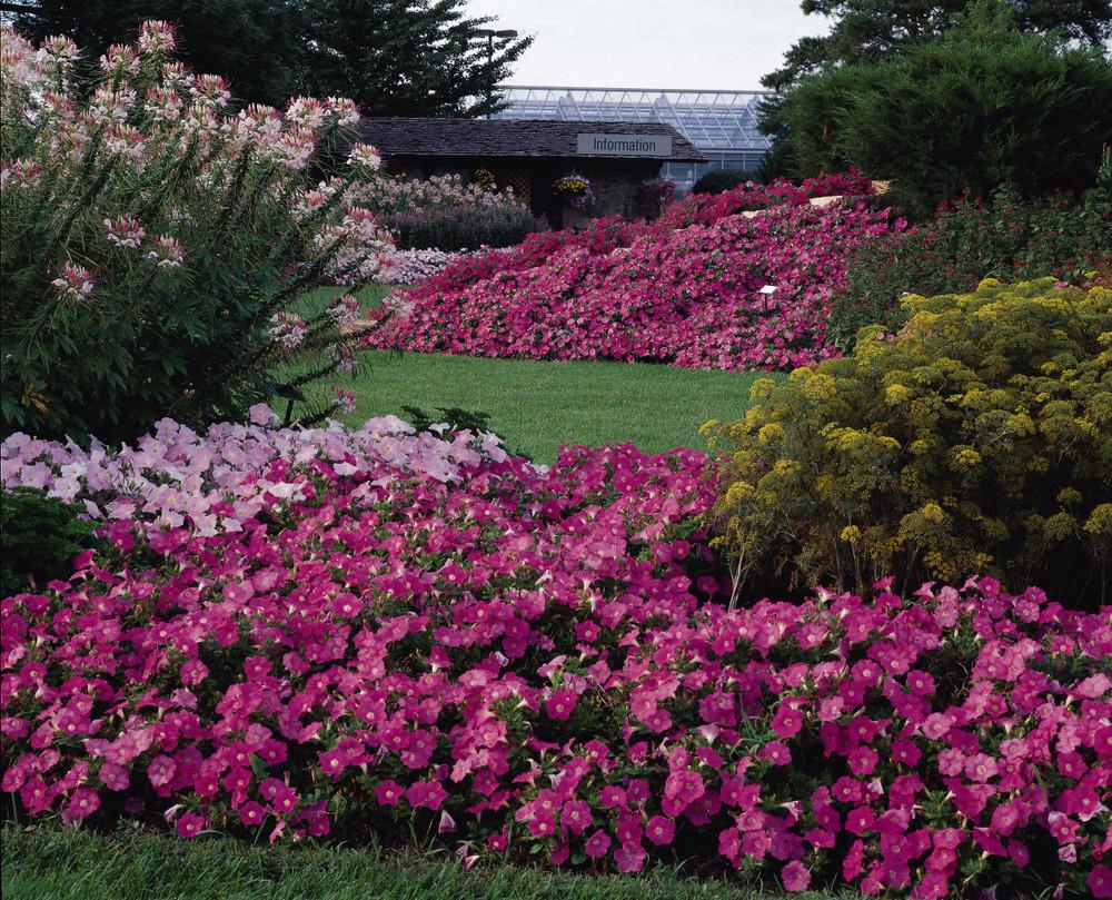 Petunia Easy Waveœ Pink Johnson Nursery Corporation