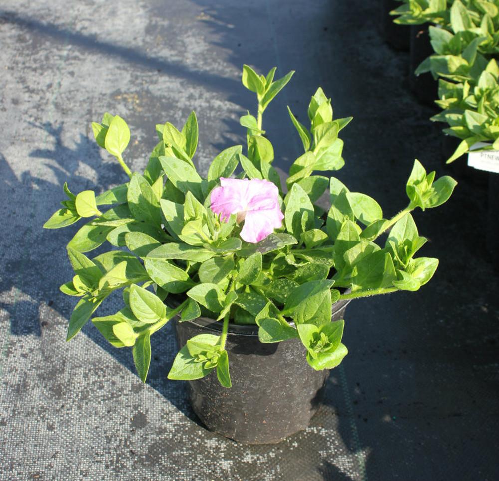 Petunia Easy Wave® Pink