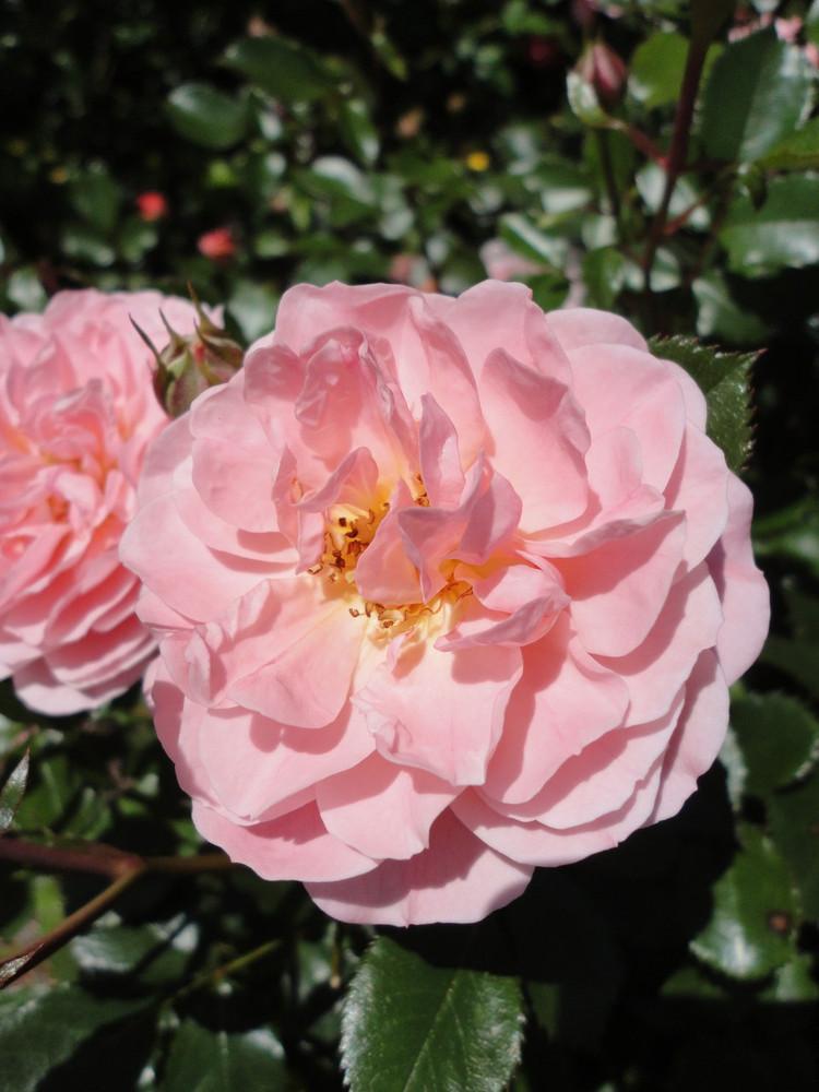 Rose Apricot Drift®