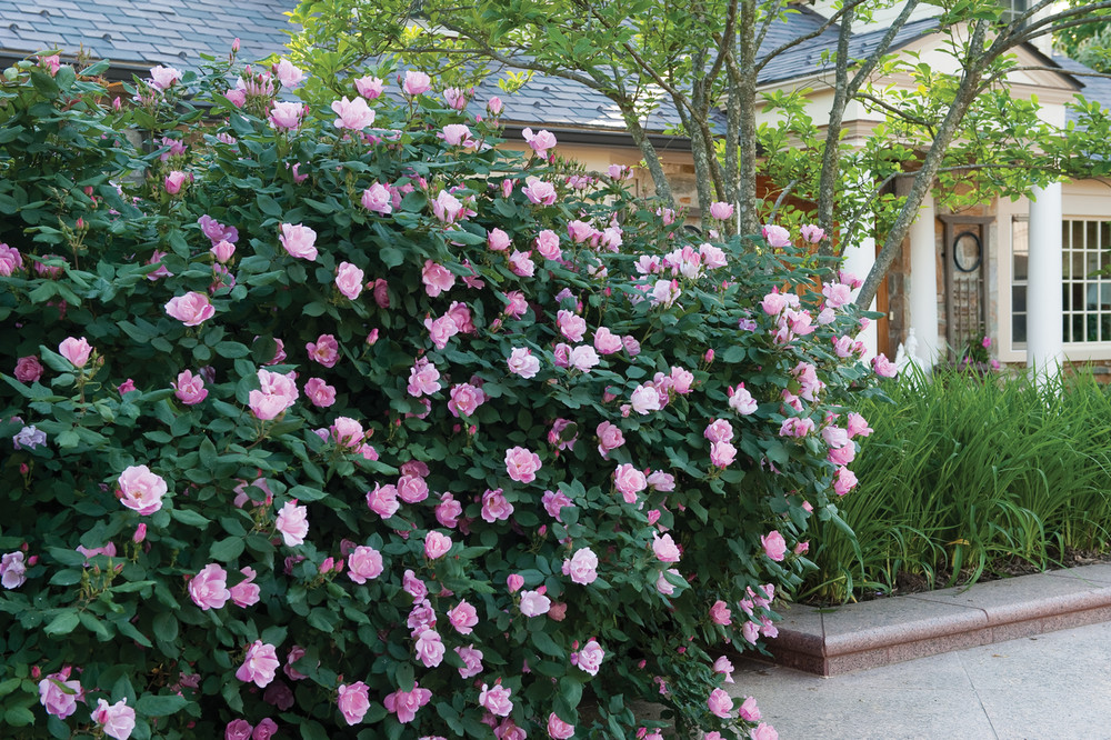 Rose The Blushing Knock Out®