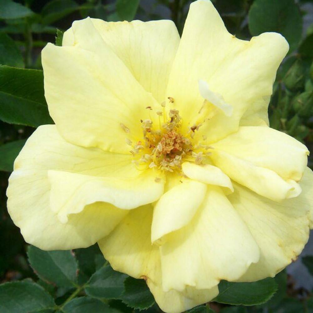 Rose Carefree Sunshine®