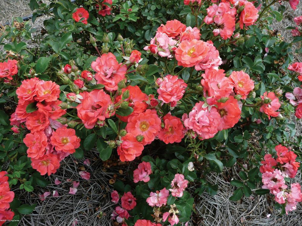 Rose Coral Drift®