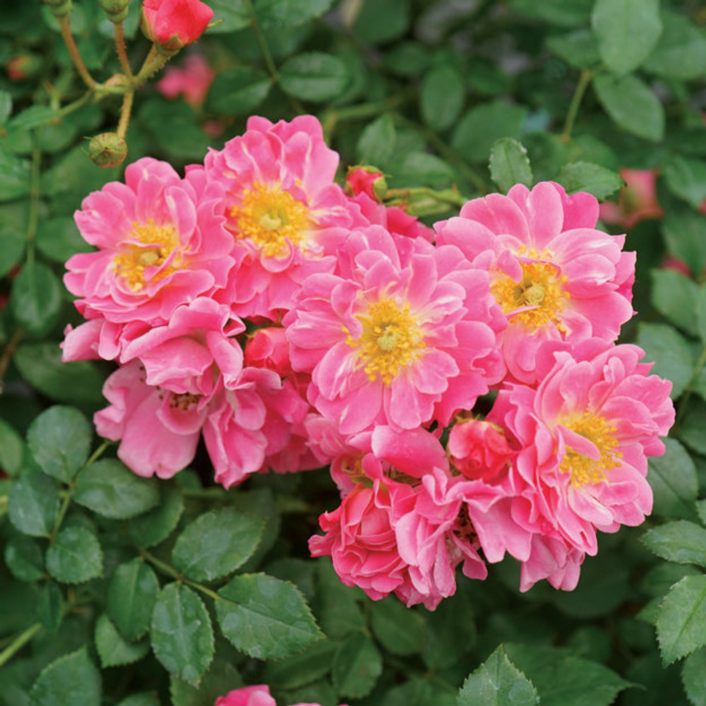 Rose Oso Easy® Double Pink