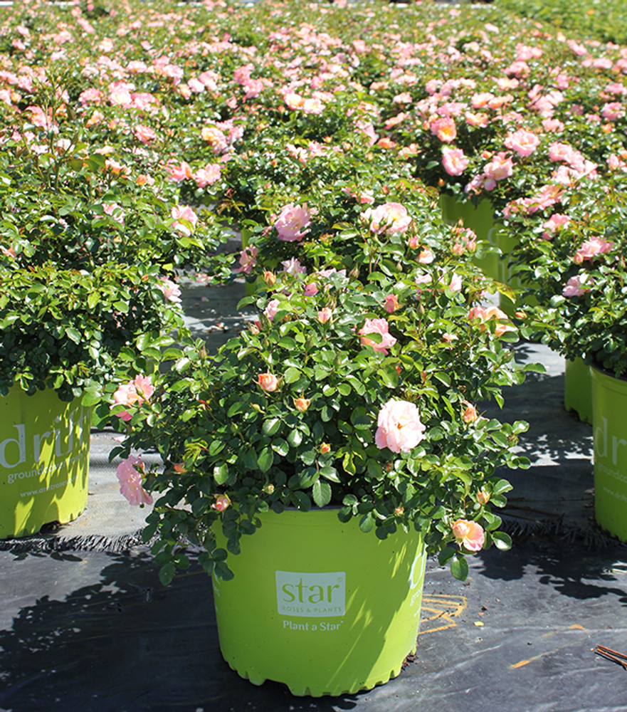 Rose Peach Drift®
