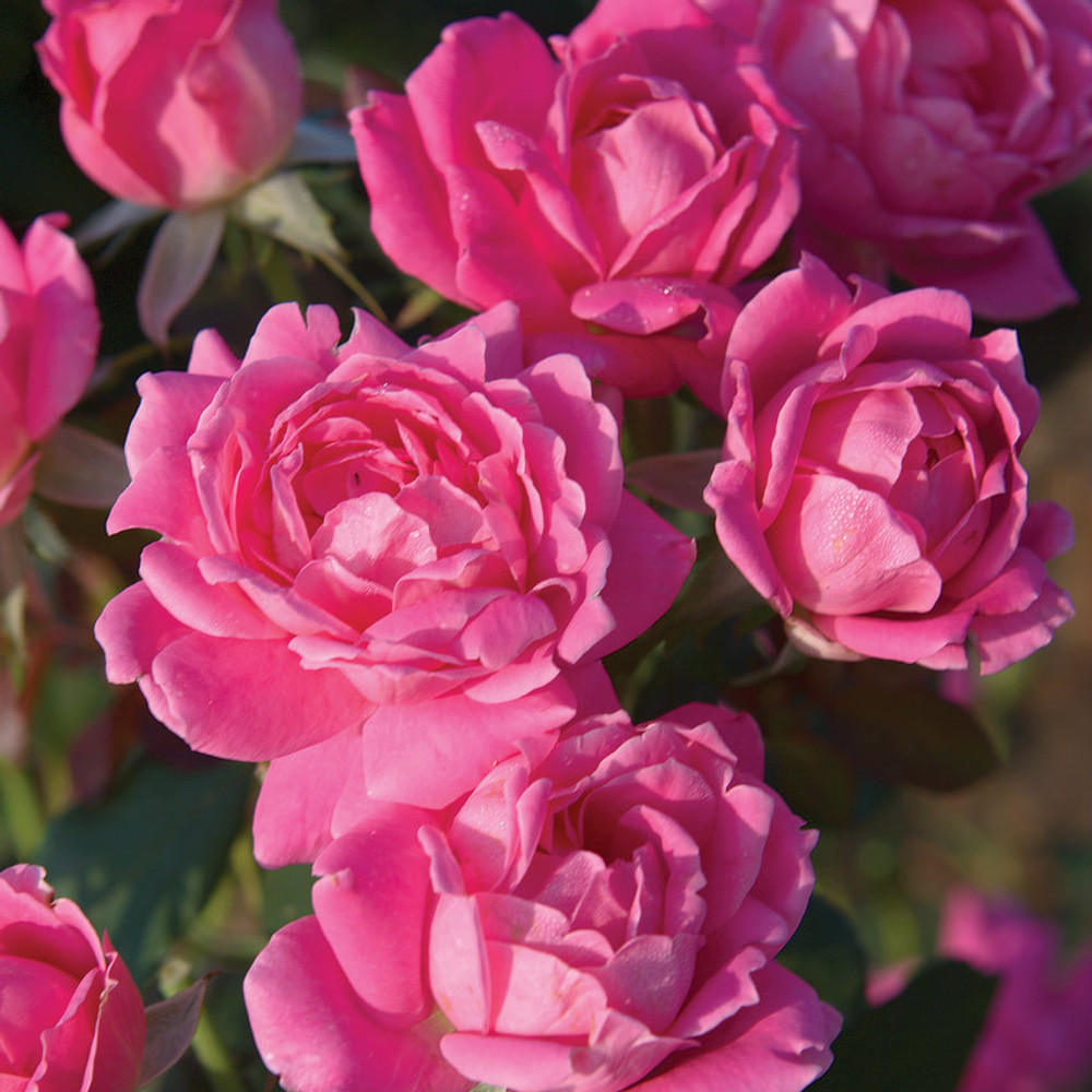 Rose The Double Pink Knock Out® (Tree Form)