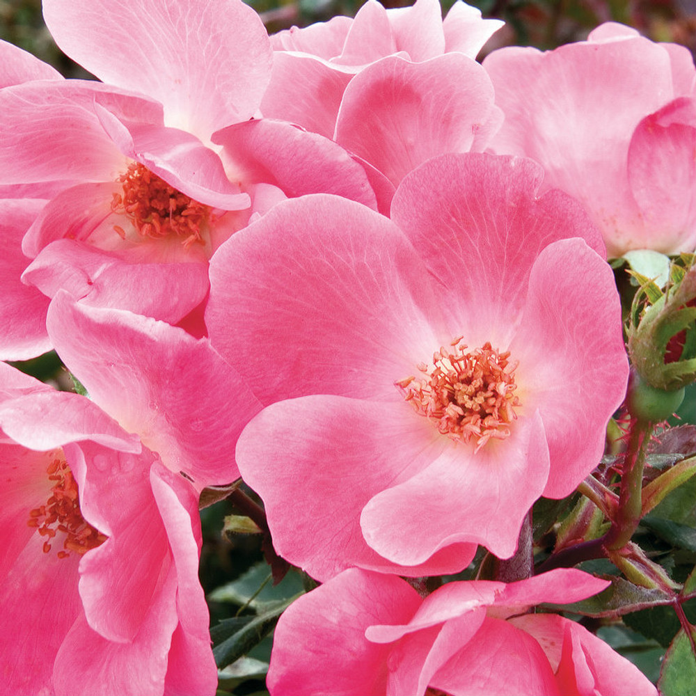 Rose The Pink Knock Out®