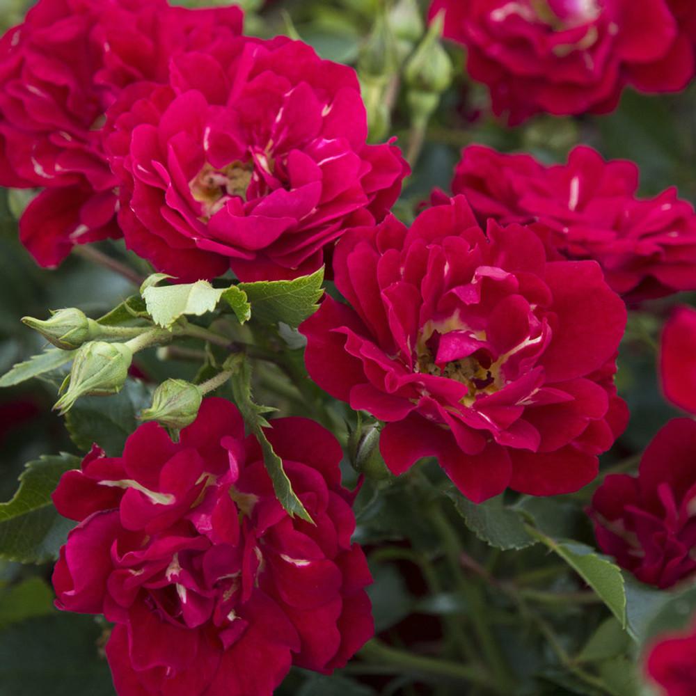 Rose Red Drift®