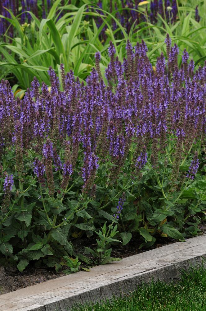 Salvia Lyrical™ Silvertone