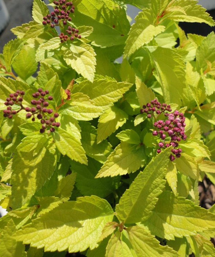 Spirea Double Play® Gold