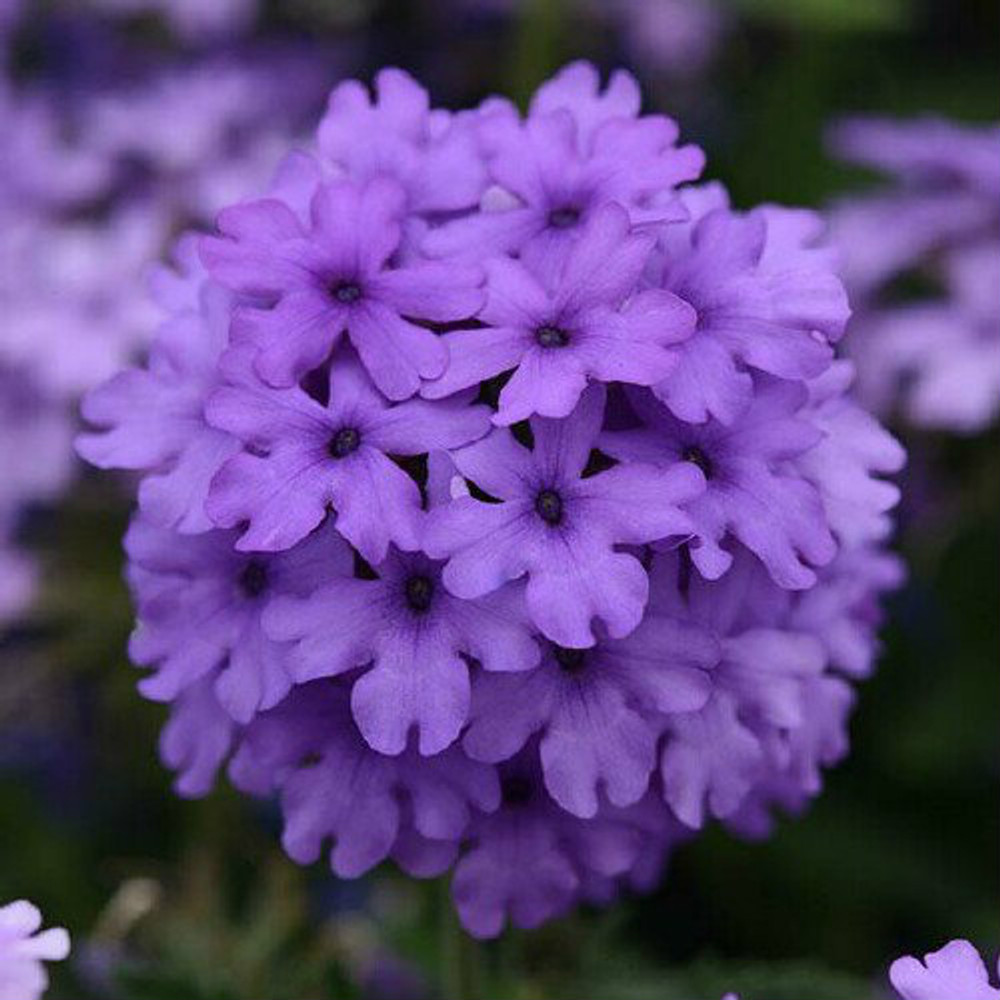 Verbena EnduraScape™ Blue Improved