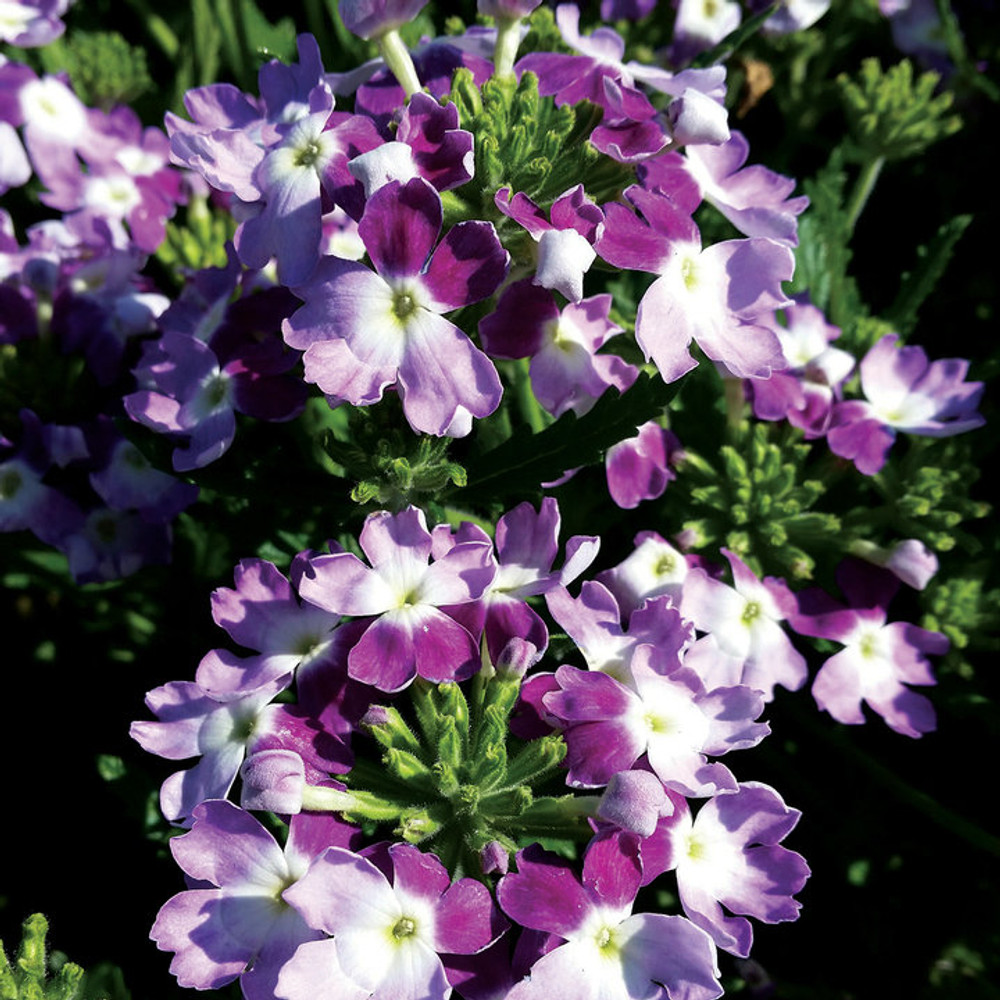 Verbena Lanai® Twister Purple