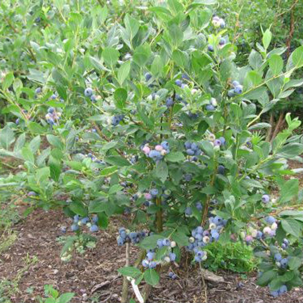 Vaccinium Blue Ray (Blueberry)