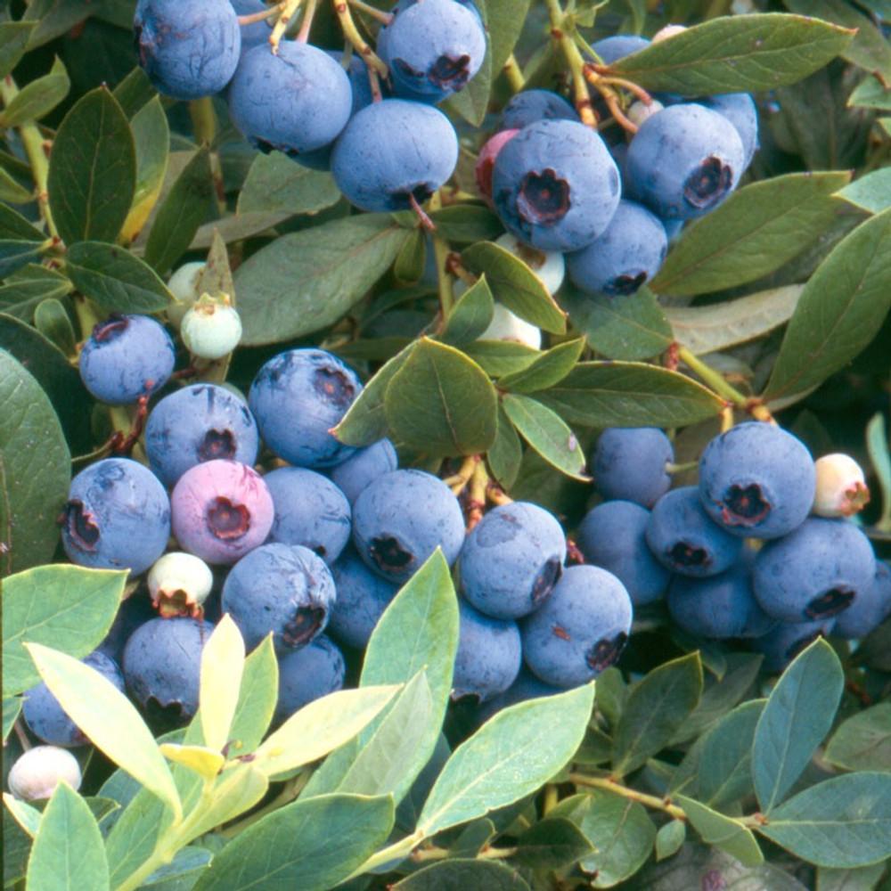 Vaccinium Sunshine Blue (Blueberry)