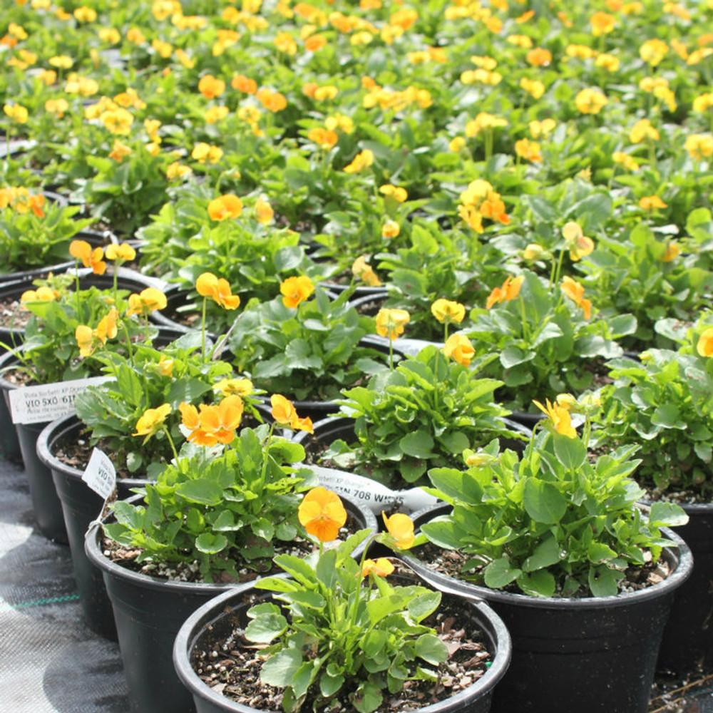 Viola Sorbet® XP Deep Orange