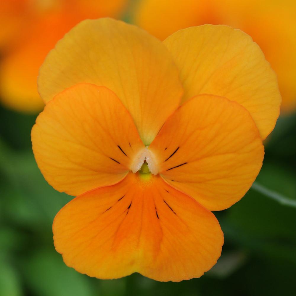 Viola Sorbet® XP Orange
