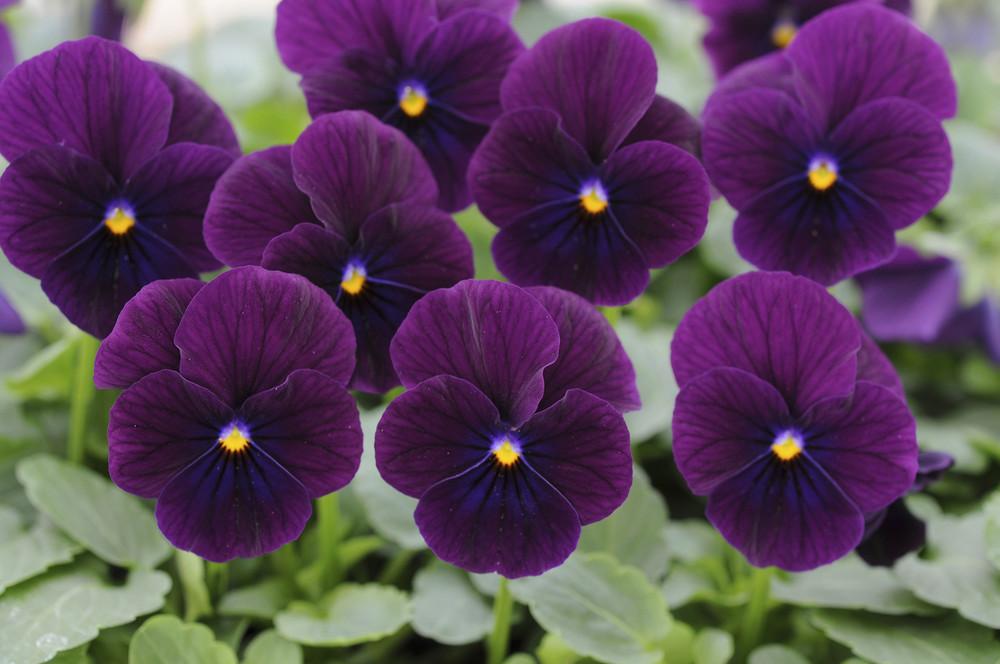 Viola Sorbet® XP Purple