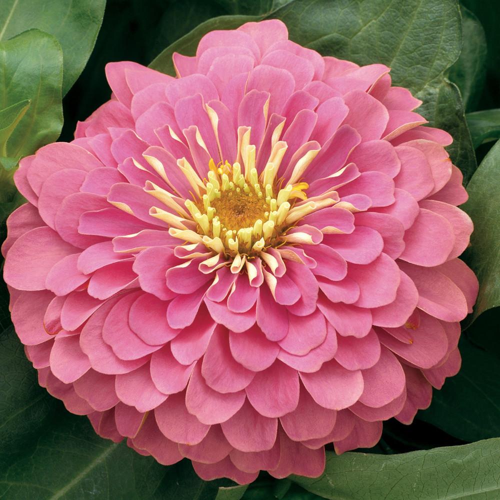 Zinnia Magellan Pink
