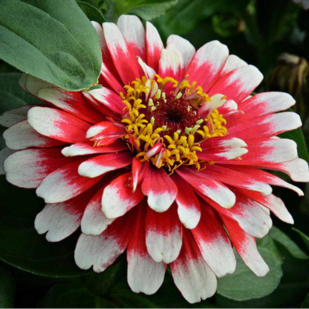 Zinnia Swizzle™ Cherry and Ivory