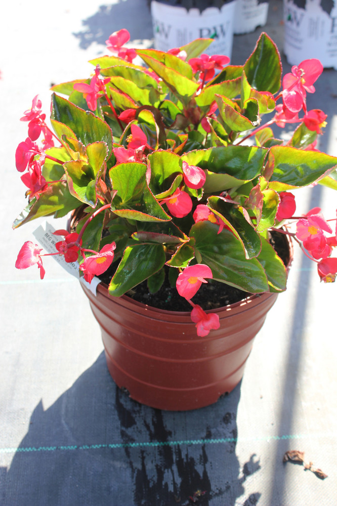 Begonia Whopper® Red With Bronze Leaf