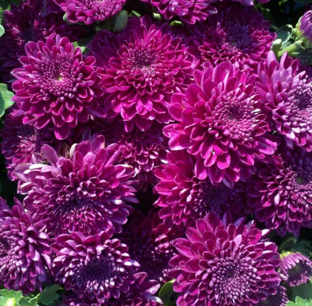 Belgian Mums® Adiva Purple