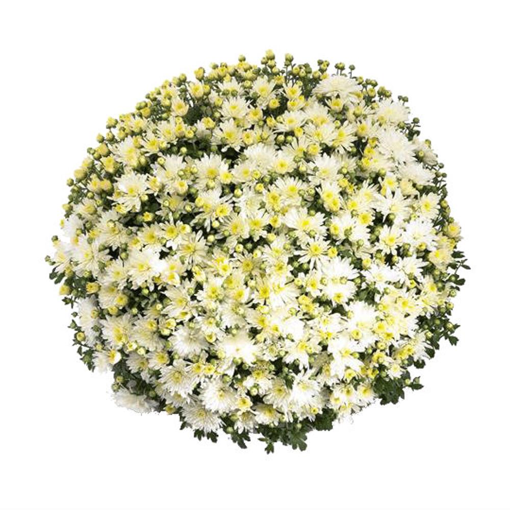 Belgian Mums® Aluga White