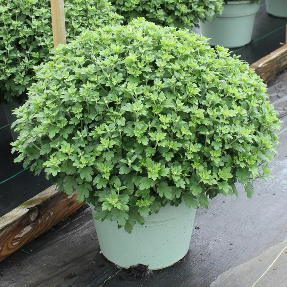 12 inch pot