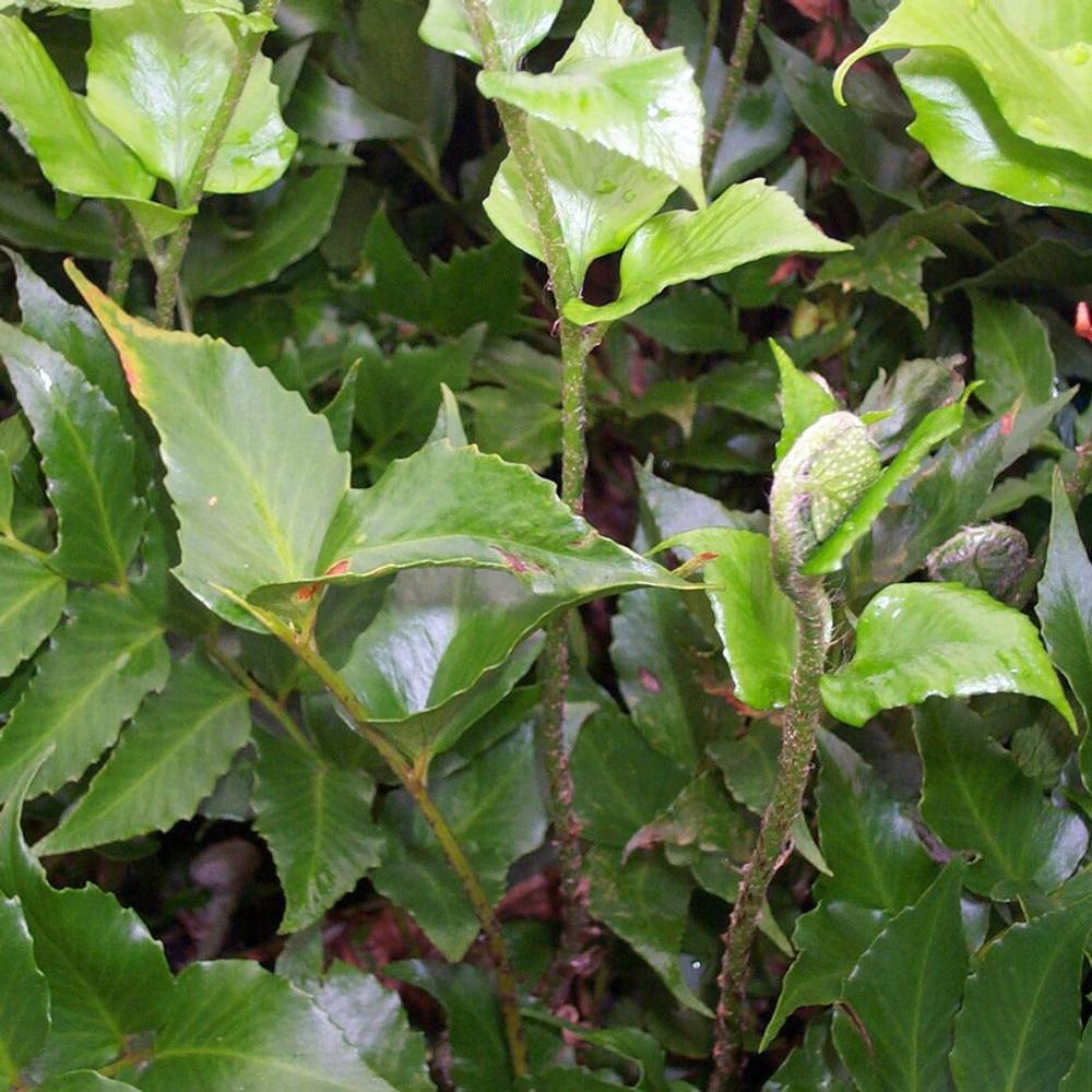 Cyrtomium Rochfordianum