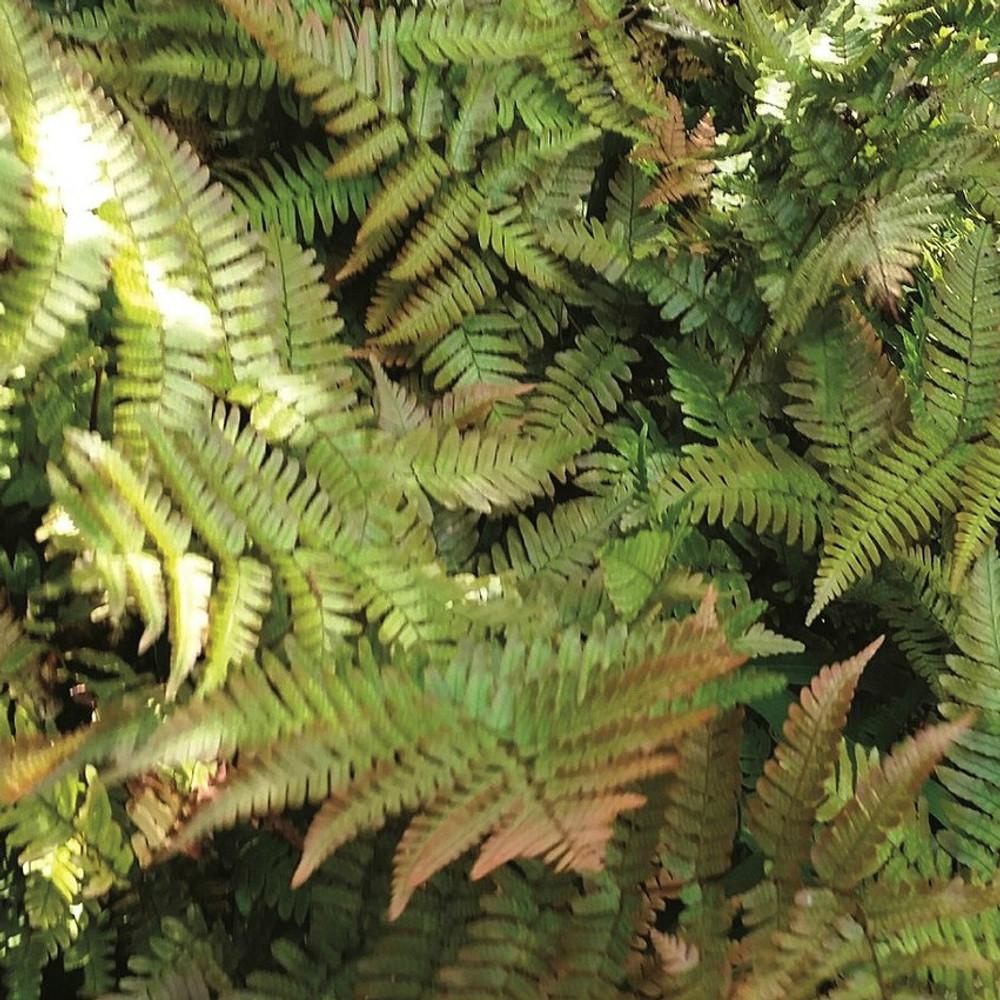 Dryopteris Brilliance (Autumn Fern)