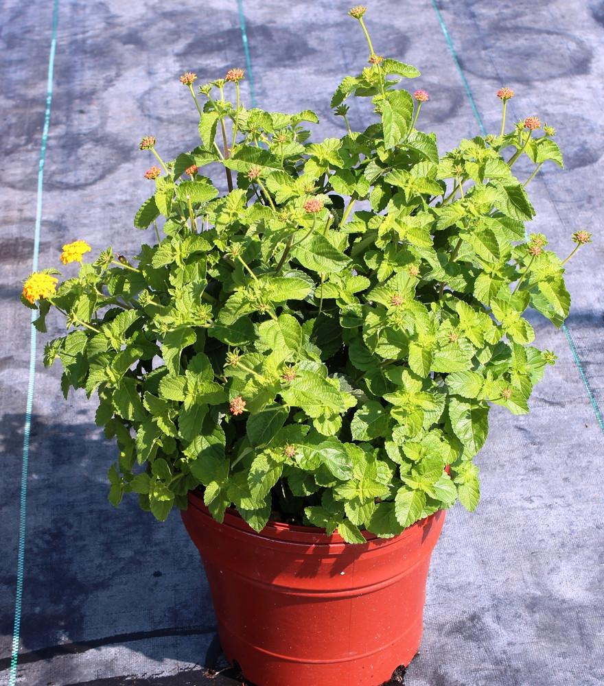 10 inch pot