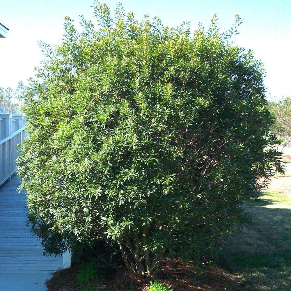 Myrica cerifera (Southern Wax Myrtle)