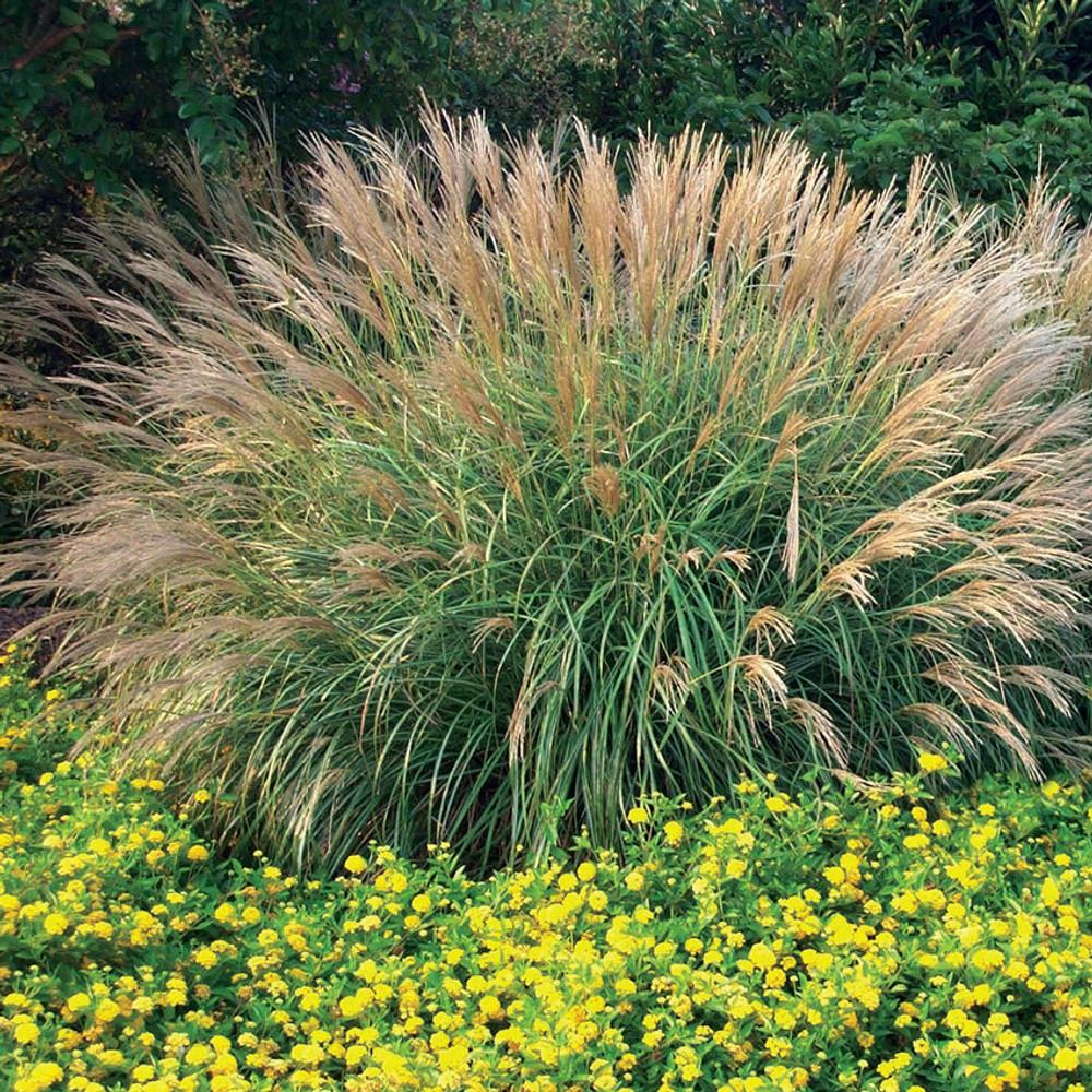 Miscanthus Adagio (Dwarf Maiden Grass)
