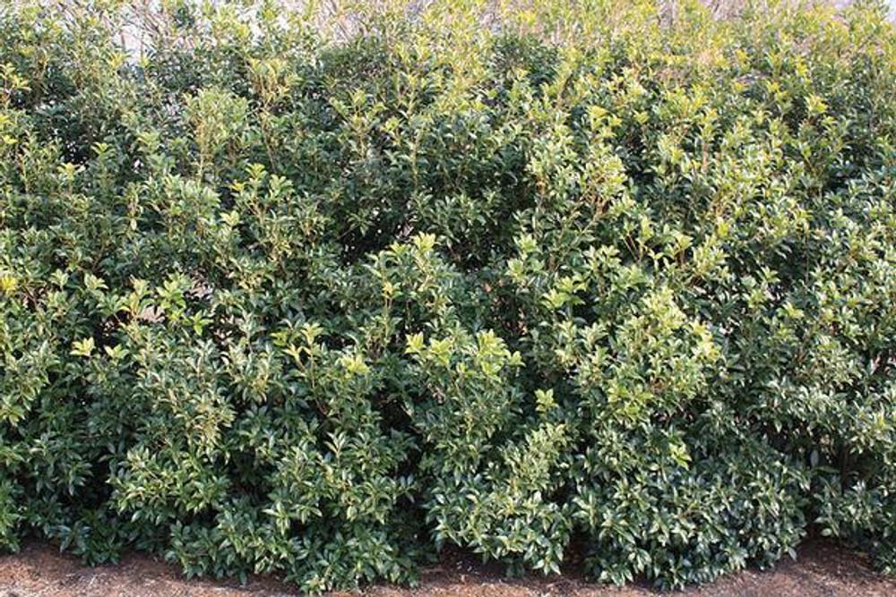 Osmanthus Fruitlandi (Tea Olive)