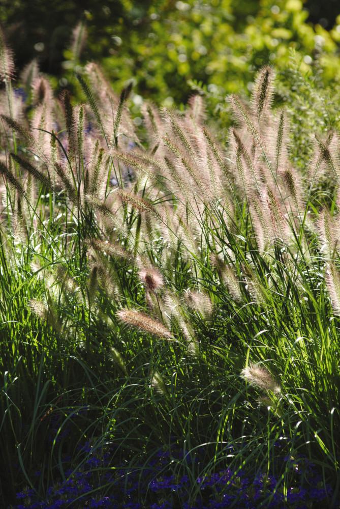 Pennisetum Cassian