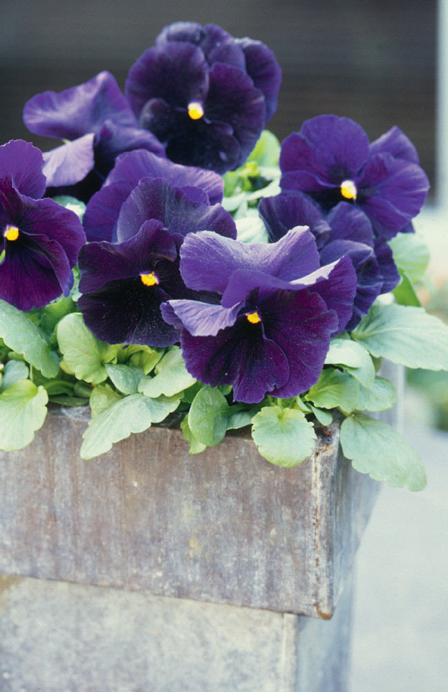 Pansy Delta™ Premium Pure Violet
