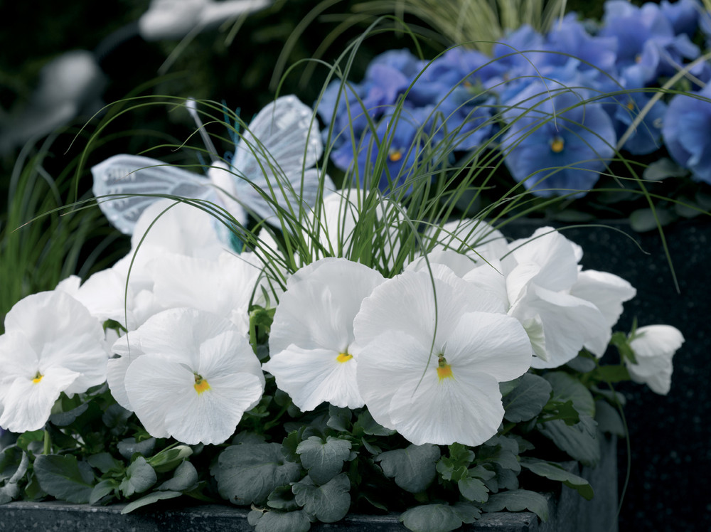 Pansy Delta™ Premium Pure White