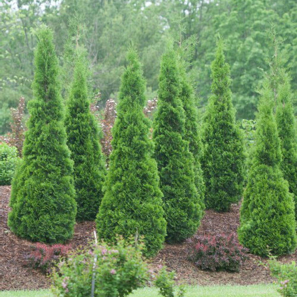 Thuja North Pole® (Arborvitae)