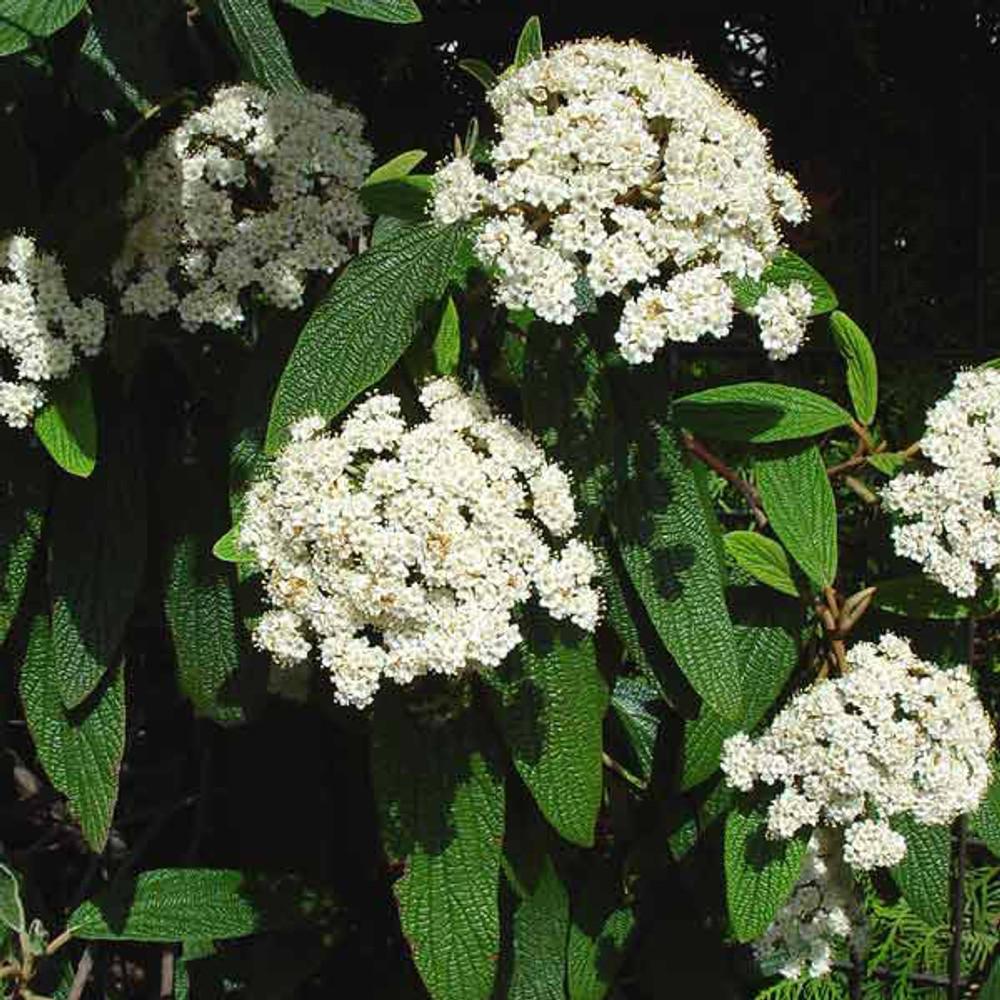 Viburnum rhytidophyllum (Leatherleaf)