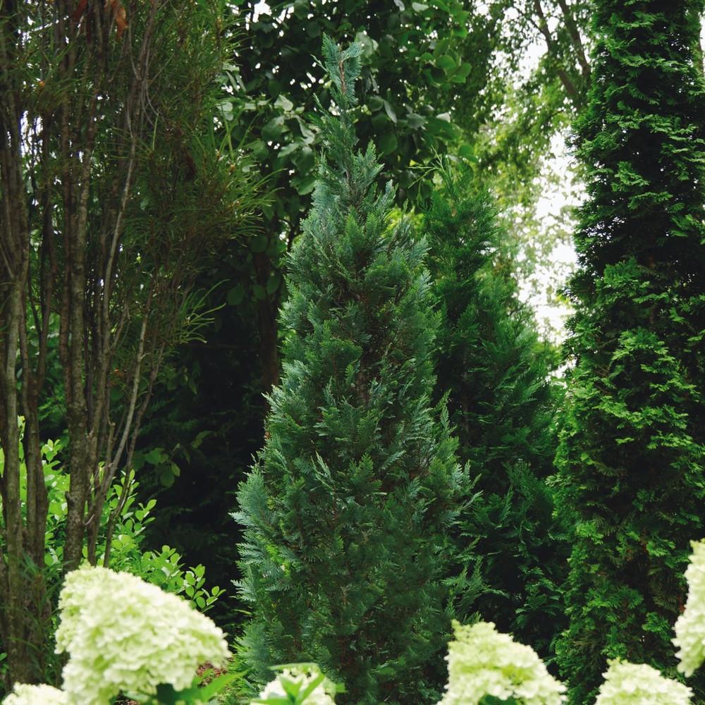 Chamaecyparis False Cypress Pinpoint® Blue (False Cypress)