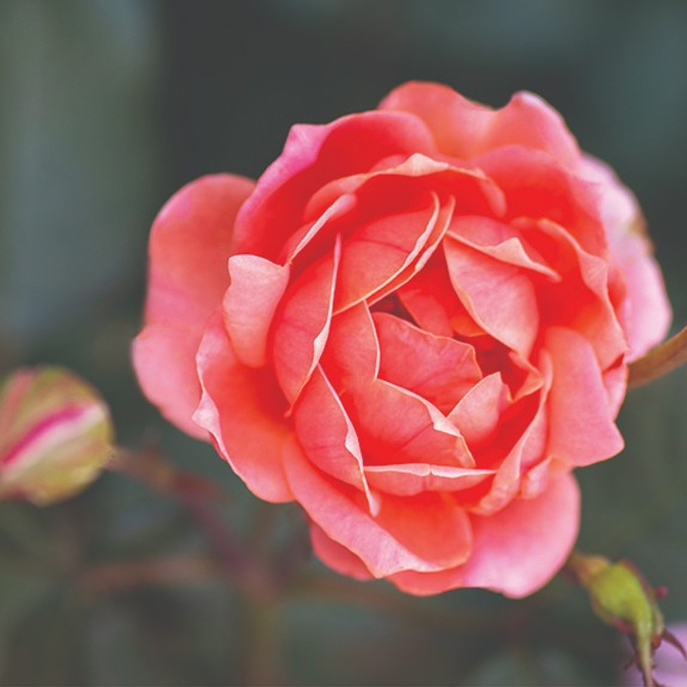 Rose Coral Knock Out®