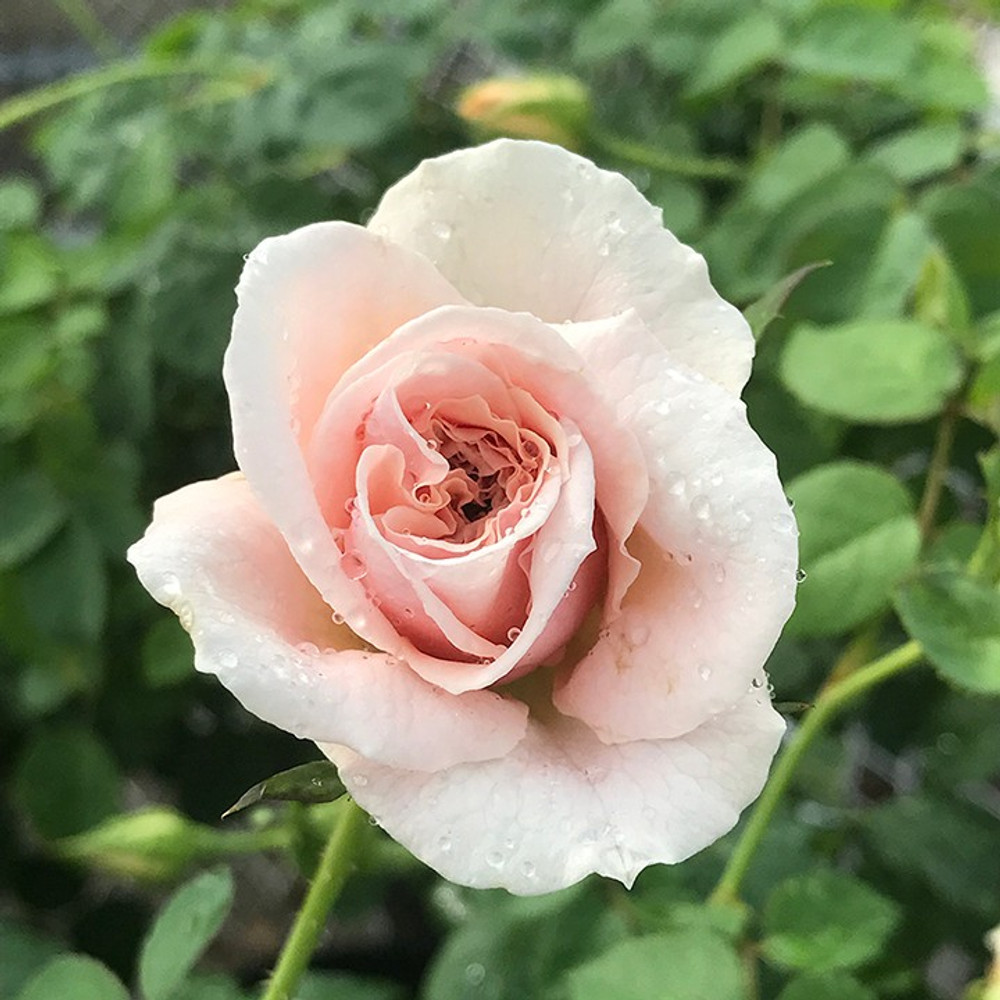 Rose Brindabella Roses™ Dawn™
