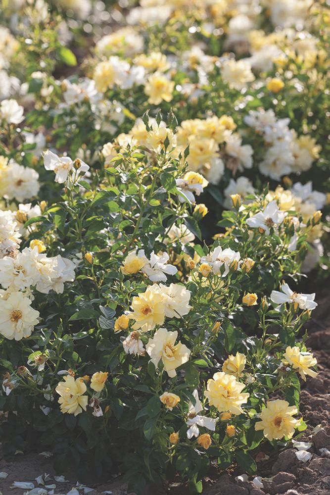 Rose Lemon Drift®