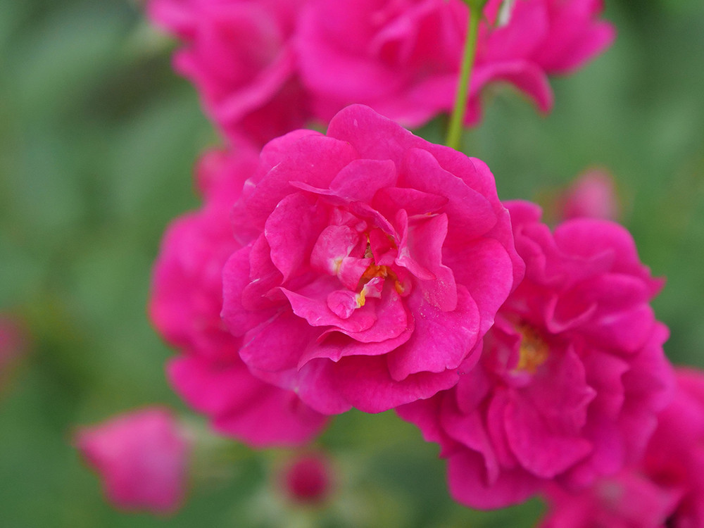 Rose Oso Easy Peasy®