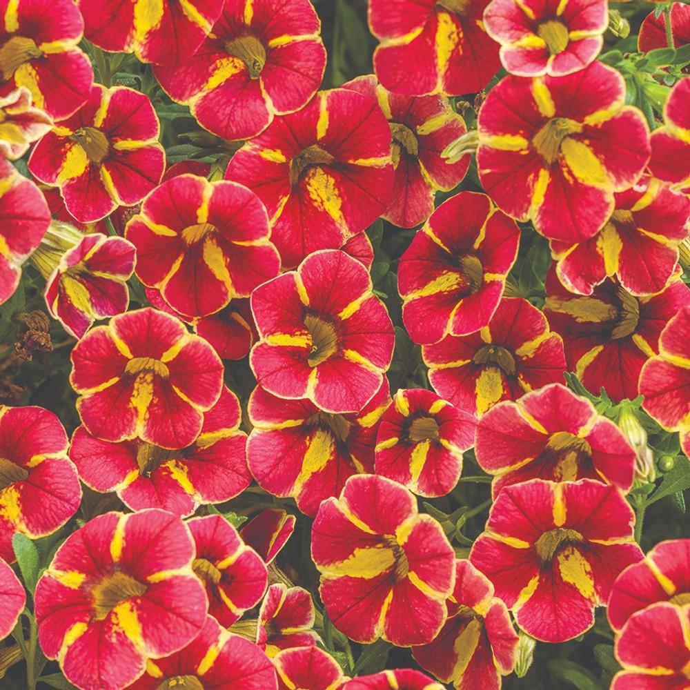 Calibrachoa Superbells® Cardinal Star™