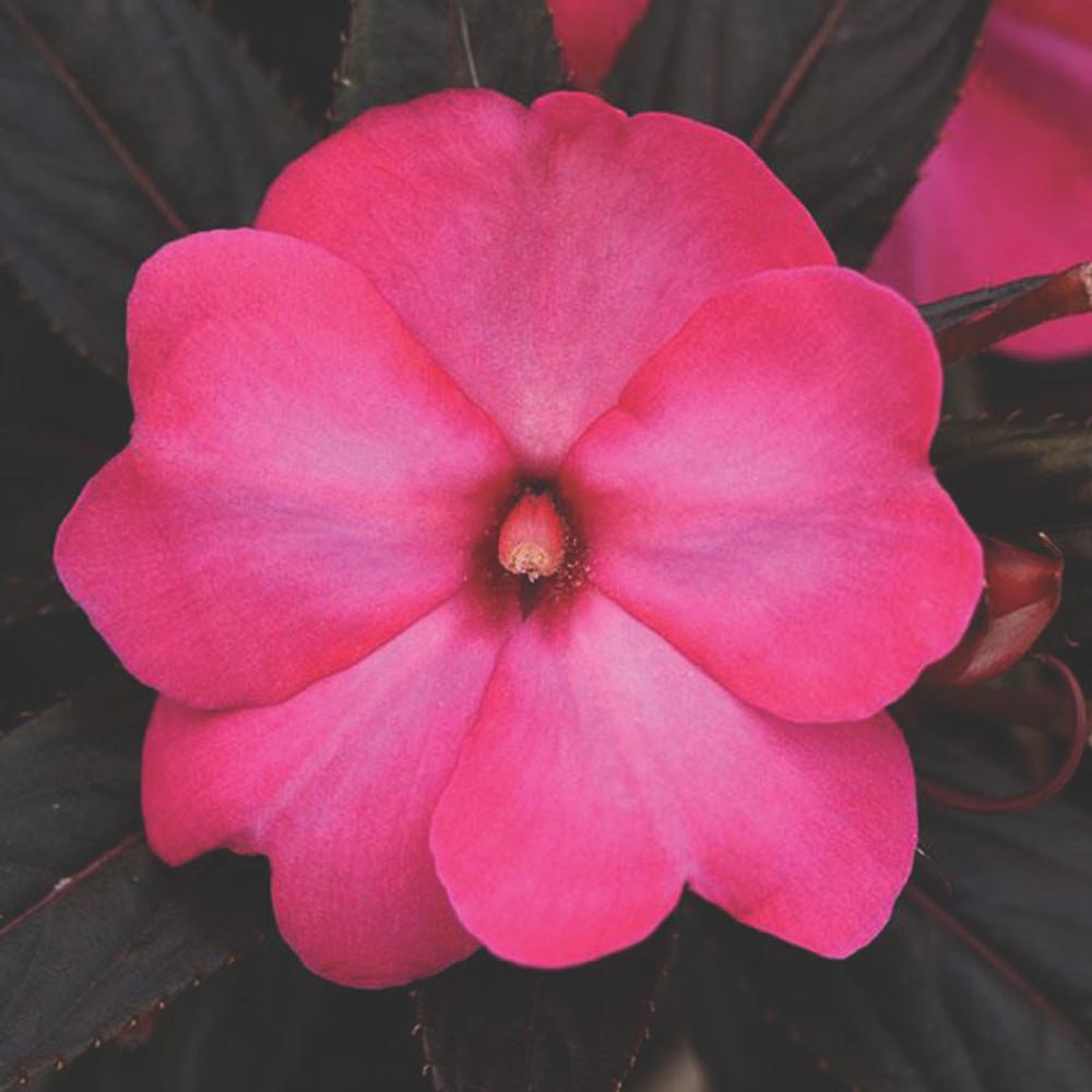 Impatiens Clockwork™ Hot Pink Glow