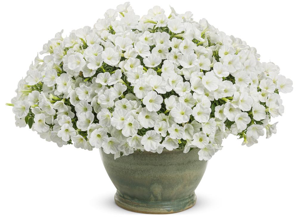 Petunia Supertunia® Mini Vista White