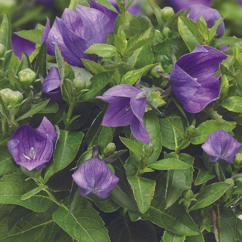 Platycodon Twinkle™ Blue (Balloon Flower)