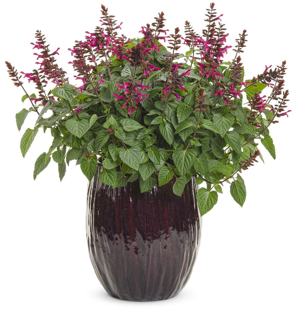 Salvia Rockin'® Fuchsia