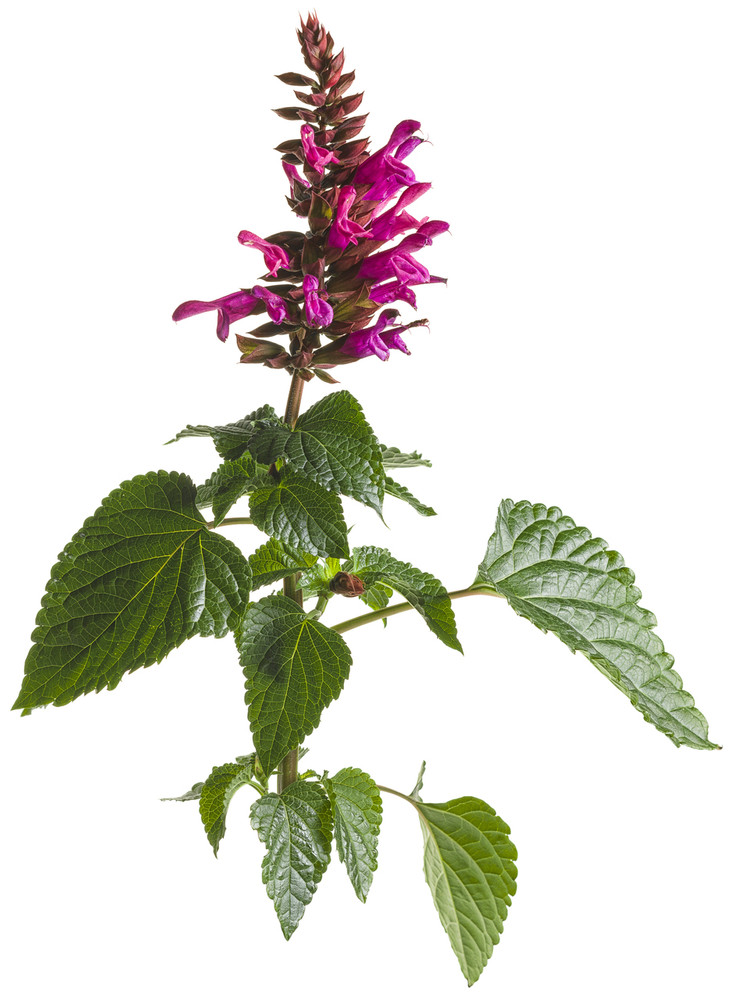 Salvia Rockin'Œ¬ Fuchsia
